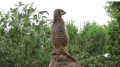 Twycross Zoo, Leiceistershire, zoo, animals, days out with kids, reviews by kids for you, kidrated, family, meerkat