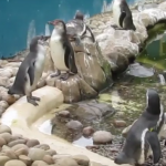 Twycross Zoo, Leiceistershire, zoo, animals, days out with kids, reviews by kids for you, kidrated, family, penguin