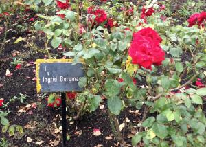 Regent's Park Roses Weekend Picks Ingrid Bergman Top 10 Things To Do In Regents Park Kidrated