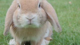 fluffy brown rabbit for easter